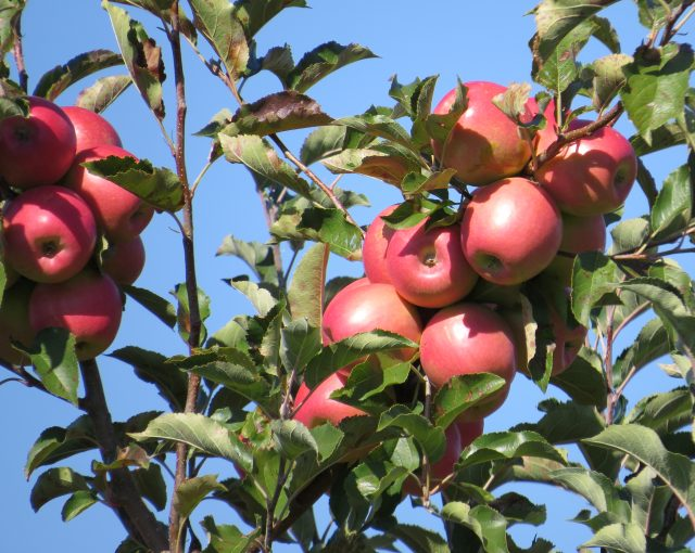 Pink Lady Apples on tree