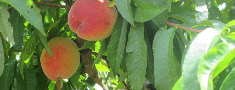 blueberry, blackberry, apple 013