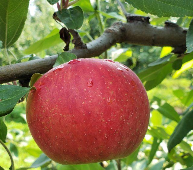Apple Gruyere Popovers